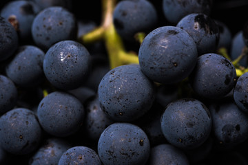 Close up, berries of dark bunch of grape with water drops in low light isolated on black background