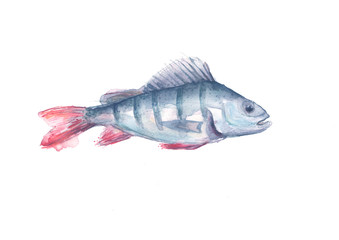 Watercolor drawing of a fish perch on an isolated white background. Logo, greeting card, illustration for design.