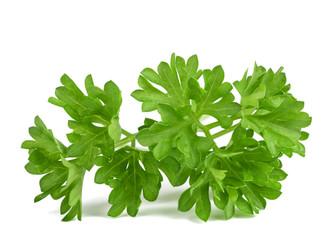 curly parsley ( Petroselinum crispum )