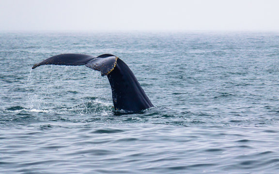 Tail fin of a large humpback whale in Monterey Bay, US