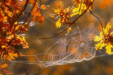 A spider web attached to branches of a tree with Autumn leaves.
