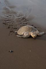 A turtle on a beach in Costa Rica.