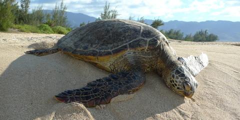 A sea turtle on the beach, Hawaii.