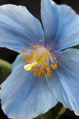 A blue poppy.