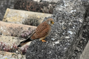 Falco Grillaio o Naumanni - femmina