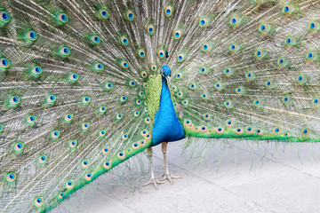 peacock shows its tail