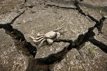 The carcass of a crab is seen at a storage reservoir cracked by prolonged drought in Siheung