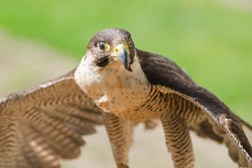 Small but fast predator bird falcon or hawk