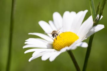 Fiore di Margherita appena sbocciato con un ape sulla corolla, macro fotografia