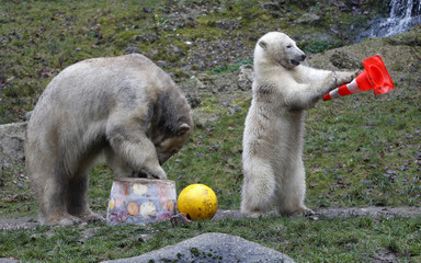 Polar bear Giovanna eats an ice cake with fresh fruit and cream next to one of her twin cubs during celebrations of the cubs' first birthday in their enclosure at Tierpark Hellabrunn zoo in Munich