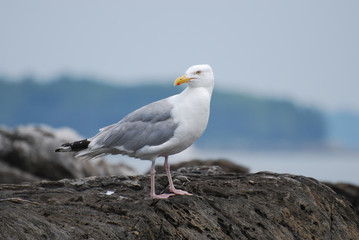 Gorgeous Seagull Standing on a Rock off the Coast
