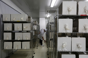 A lab technician kills mosquitos with an electric swatter inside Sun Yat-Sen University-Michigan State University Joint Center of Vector Control for Tropical Disease in Guangzhou, China