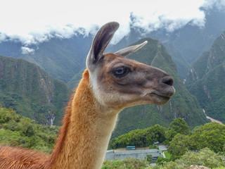 Poster Lama Lama (Vicugna pacos) vor den Inkaruinen auf dem Machu Picchu Cusco Peru