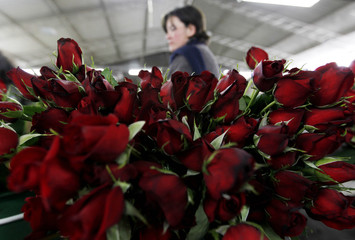 A worker prepares roses for export before the upcoming Valentine's Day, at Elite greenhouse in Facatativa