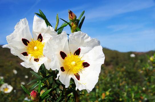 rockrose flower in mediterranean field