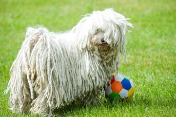 Puli steht mit Ball in Wiese