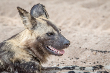 Side profile of an African wild dog.