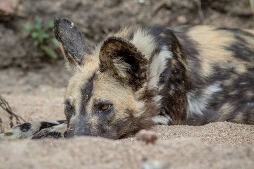 African wild dog laying in the sand.