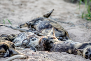 African wild dog sleeping in the sand.