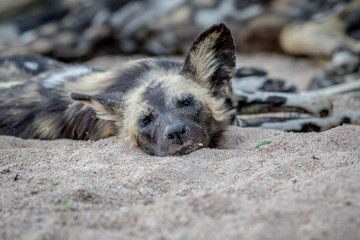 African wild dog laying and starring.