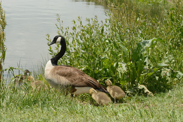 Parent goose leading brood of newborn goslings from shore into lake