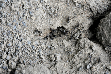 活動する蟻(アリの巣)。(働き方改革、仕事、働く、集中などのイメージ)周囲に文字スペース