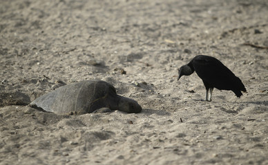Vulture stands next to an Olive Ridley turtle during nesting season at the La Flor Wildlife Refugee