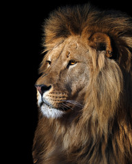 Lion's profile portrait isolated at black