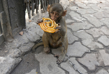 Musafir, a pet monkey, eats a Jalebi sweet on a pavement in Kolkata