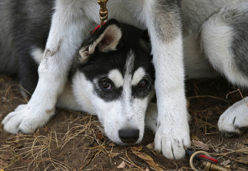 Puppies attend a sled dog competition in Dunaharaszti near Budapest