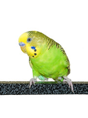 A portrait of green and yellow parakeet on white background