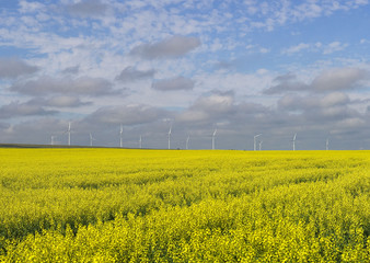 A canola crop used for making cooking oil sits in full bloom on the Canadian prairies with windmills in the background near Fort Macleod