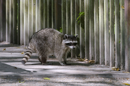 Common raccoon in Stanley Park, Vancouver, BC, Canada