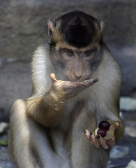 A monkey licks frozen slices of fruit during a hot day in its enclosure at the Skopje Zoo