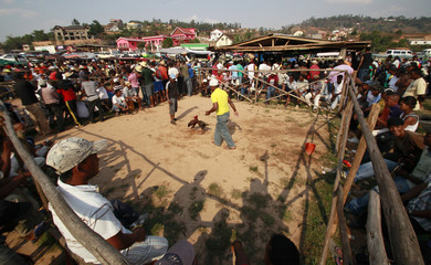 A general view shows a wooden ring where roosters fight during a traditional Malagasy cockfighting contest in Ambohimangakely