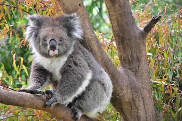 Wall Murals Koala Koala