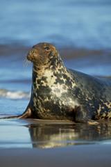 Grey Seal in the shore break (Halichoerus grypus) at Donna Nook UK