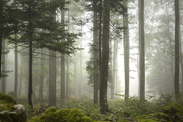 Papiers peints Forets Lovely foggy forest tree landscape.