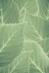 Vintage tone of Green leaves texture and background