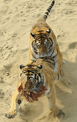 Siberian tigers fight for a chicken at the Siberian Tiger Forest Park in Harbin