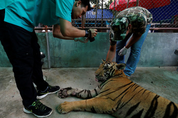 A veterinarian from a wildlife protection department takes a photograph of a tiger to collect wildlife data in a bid to tackle illegal wildlife trade at the Sriracha Tiger Zoo, in Chonburi province