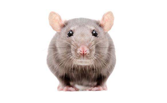 Portrait of a curious gray rat isolated on white background