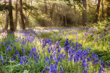 English bluebells hidden deep in a mature woodland forest with early morning sunlight peeping though the trees