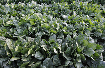 Spinach is seen before being harvested at a field in Moriya, Ibaraki prefecture