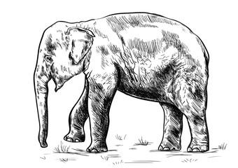 Old big elephant on the white background.