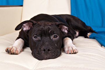 Portrait of the american staffordshire terrier puppy on a white mat on a blue background
