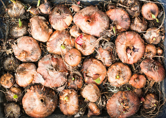 Top view of gladioli bulbs sprouting in the tray, selective focus