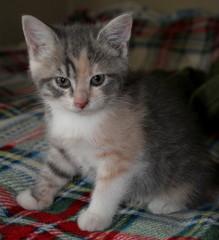 Красивый серый котенок сидит на цветном пледе