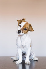portrait of a cute young dog over white background looking at the camera. Love for animals concept. Sitting on a wood table.Pets indoors.