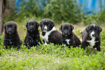 Several puppies on a background of green lawn.